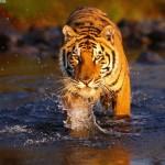 tigre-de-bengala_2988_1600x1200