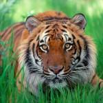 tigre-deitado_2997_1600x1200