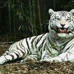 tigre-branco_2754_1600x1200