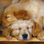 103572_Papel-de-Parede-Cachorros-Dormindo_1600x1200