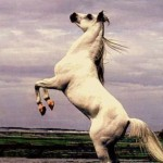 arabian-stallion-on-back-legs