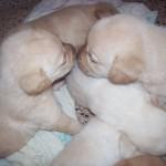 cachorros-labrador-dorados-con-pedigree-fca_f056283f8f1_3