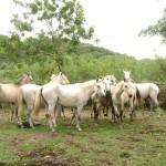 cavalos (1)