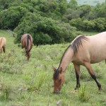 cavalos1