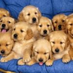 siblings-golden-retriever-puppies