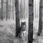 942-stalking-wolf-wallpaper-1600x1200-customity