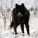 Gray-Wolf-Cold-Stare-1-O36U6GL8BK-1600x1200