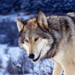 Gray-Wolf-in-Snow-1