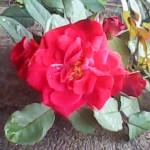 rosa-vermelha-1