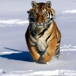 103379_Papel-de-Parede-Tigre-Siberiano-na-Neve_1600x1200