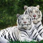 71228_Papel-de-Parede-Tigres-Brancos-de-Bengala_1600x1200