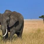 elefante-no-kenya
