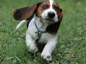 beagle-eyes-animals-grass-dogs-running-244467