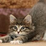 duvidas-comportamento-gatos-9