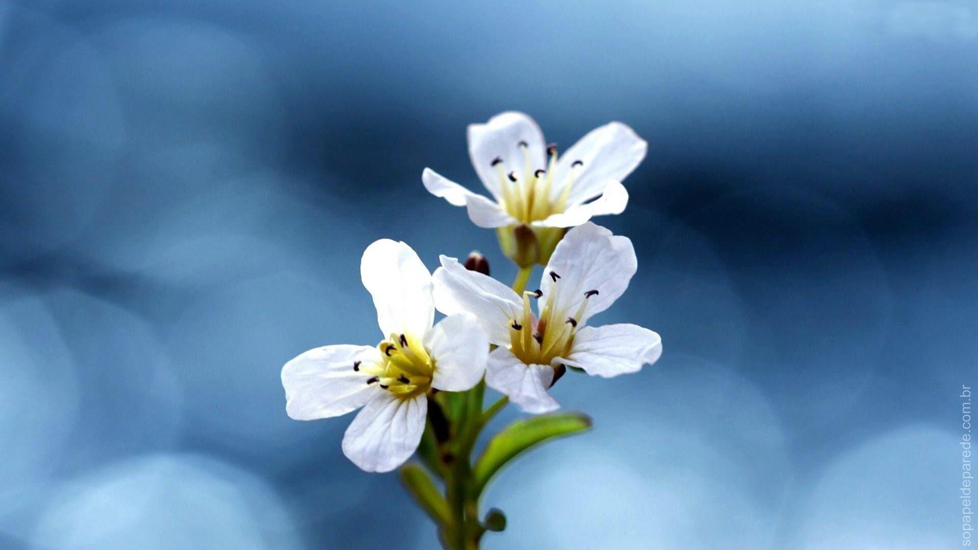 Hermosas Flores Blancas Wallpaper Hd Fondos De Pantalla Gratis: Só Papel De Parede Grátis