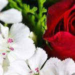 rosa-flores-brancas-wallpaper