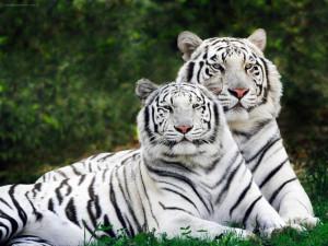 Papel-de-Parede-Tigres-Brancos-de-Bengala_1600x1200