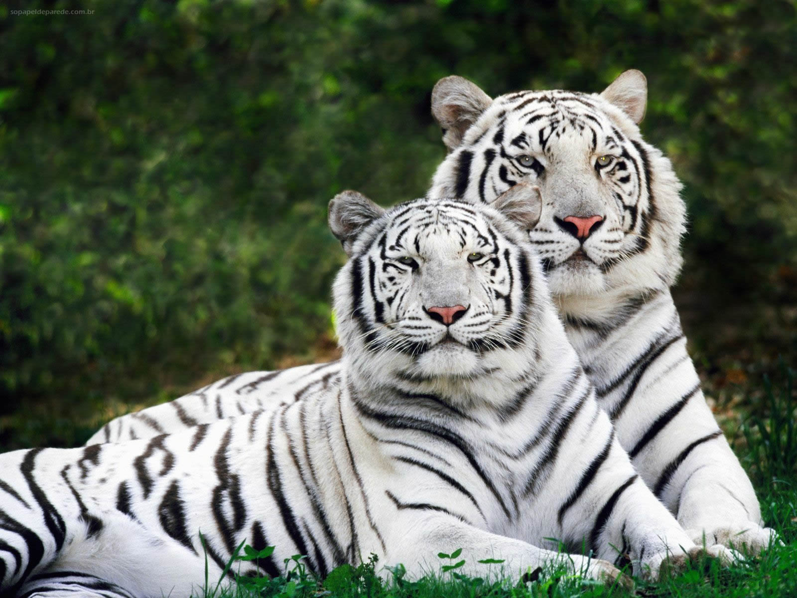Tigre Branco e Leões – Papel de Parede