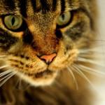 papel-de-parede-felino