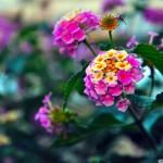 papel-de-parede-flor-rosa-e-amarelo