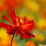 papel-de-parede-flor-vermelha