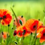 papel-de-parede-flores-na-grama
