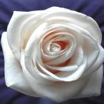 00146_whiterose_1680x1050