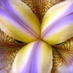 00175_purpleiris_1680x1050
