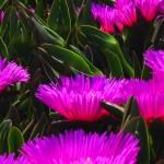 00328_violetflowers_1680x1050
