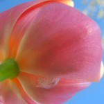 00361_tulip2005_1680x1050