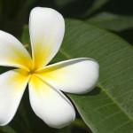 00499_fijianfrangipani_1680x1050