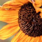 00593_autumnsunflower_1680x1050