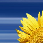 00686_sunflower_1680x1050