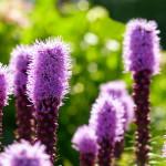 00991_purpleliatris_1680x1050