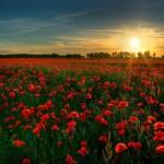papel-de-parede-lindo-campo-de-rosas-vermelhas